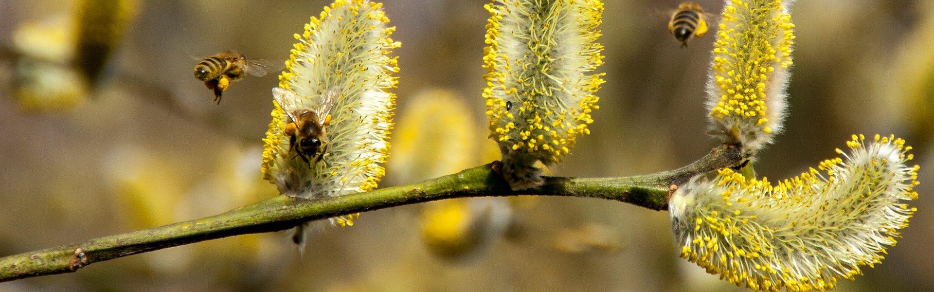pyłki kwiatów, alergie
